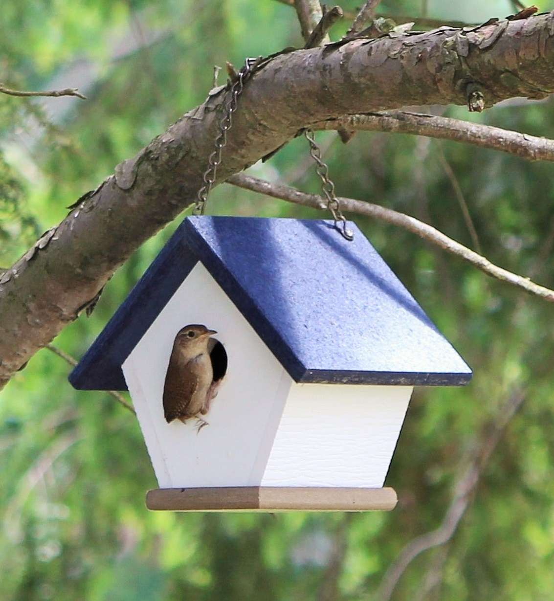 wren perched in bird house hanging in tree