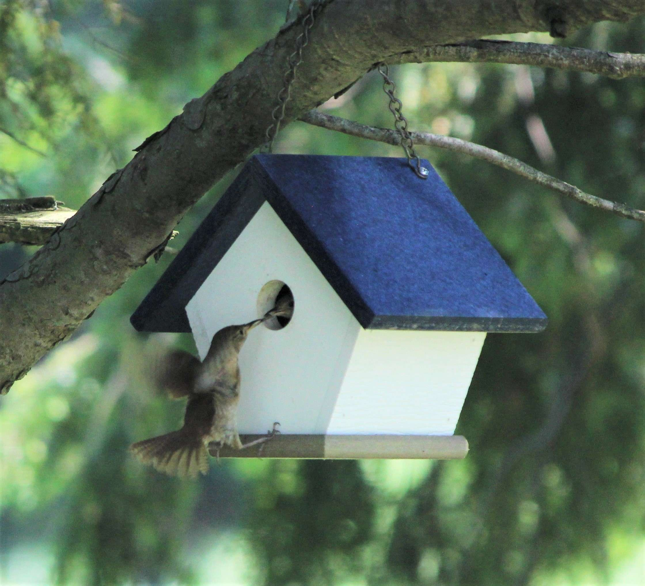 Mother wren feeding baby birds in white and navy wren house